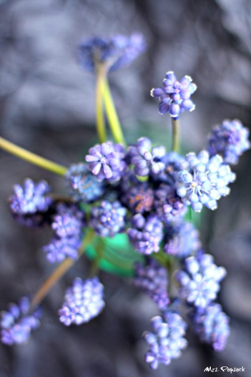 blaue hyazinthenblüthe