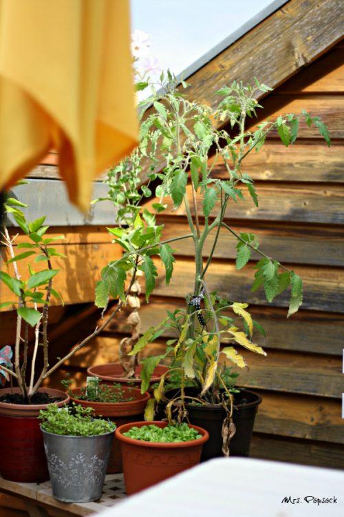 große Tomatenpflanzen